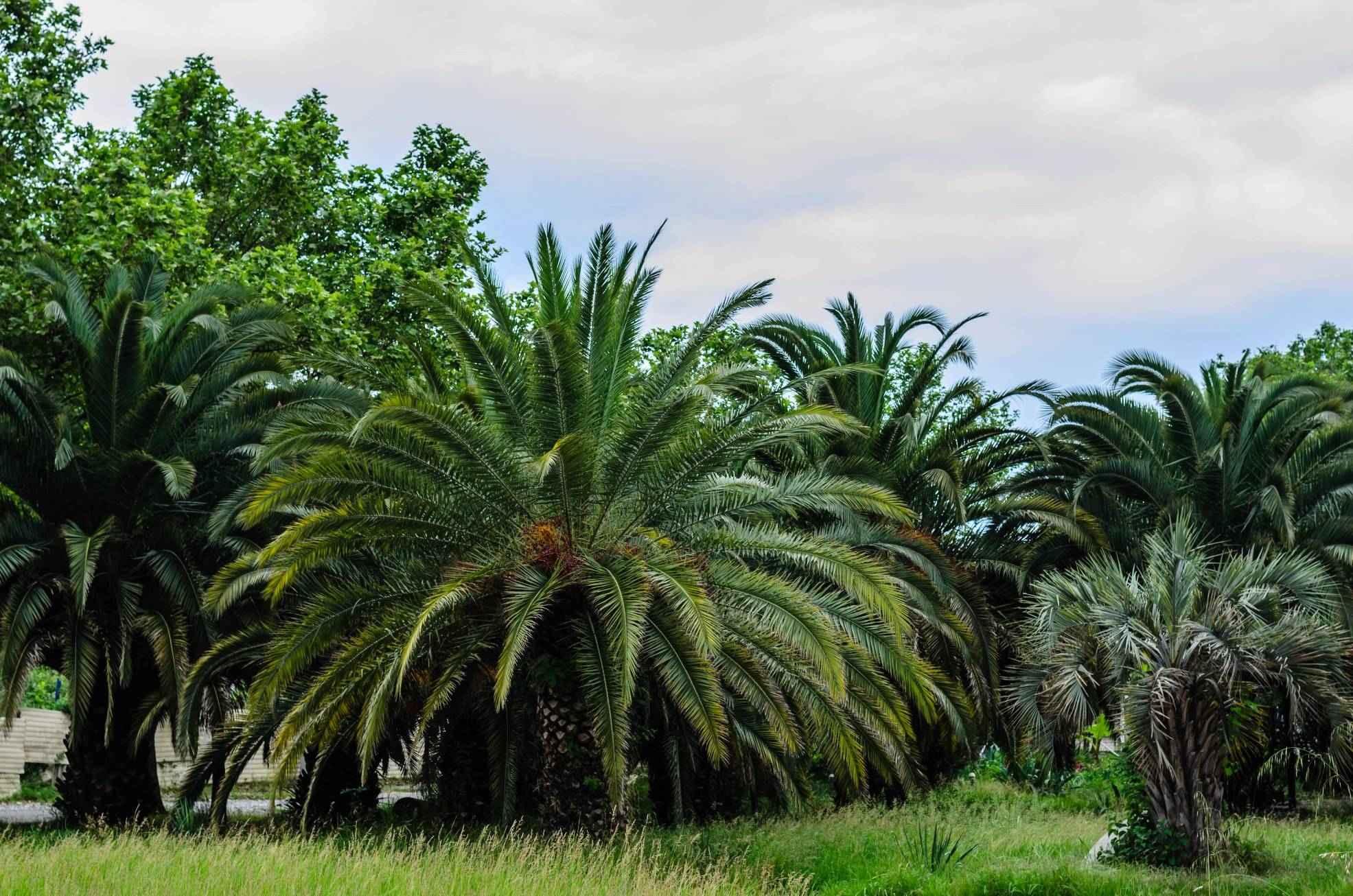 Пальмы в Гагре